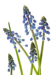 Muscari blossoms isolated