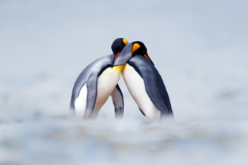 Foto op Canvas Pinguin King penguin mating couple cuddling in wild nature, snow and ice. Pair two penguins making love. Wildlife scene from white nature. Bird behavior, wildlife scene from nature, South Georgia, Antarctica.