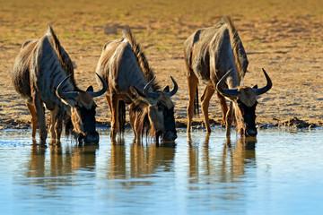 Fotomurales - GNU drinking. Blue wildebeest, Connochaetes taurinus, on the meadow, big animal in the nature habitat in Botswana, Africa. Wildeboost near the river. Wildlife behaviour scene from nature.