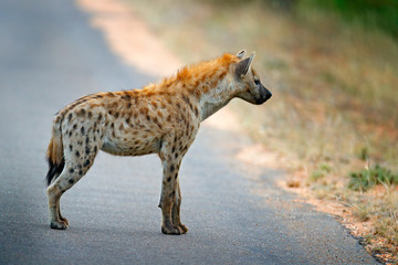 Spotted hyena, Crocuta crocuta, on the . asphalt road. Animal behaviour from nature, wildlife in Kruger National Park, Africa. Hyena in savannah habitat.