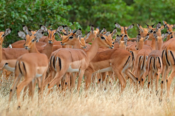 Fotomurales - Beautiful impalas in the grass with evening sun, hidden portrait in vegetation. Animal in the wild nature . Sunset in Africa wildlife. Animal in the habitat, face portrait. Herd of animals.