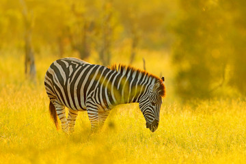 Plains zebra, Equus quagga, in the grassy nature habitat, evening light, Kruger National Park, South Africa. Wildlife scene from African nature. Zebra sunset with trees.