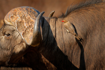 Yellow-billed oxpecker, Buphagus africanus, in brown fur of big buffalo. Bird behaviour in savannah, Kruger National Park, South Africa. Wildlife scene from African nature.