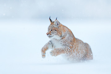 Wall Murals Lynx Eurasian Lynx running, wild cat in the forest with snow. Wildlife scene from winter nature. Cute big cat in habitat, cold condition. Snowy forest with beautiful animal wild lynx, Germany.