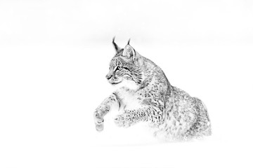 Black and white nature art. Cute big cat in habitat, cold condition. Snowy forest with beautiful animal wild lynx, Poland. Eurasian Lynx running, wild cat in the forest with snow.