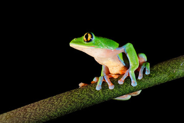 Agalychnis annae, Golden-eyed Tree Frog, green and blue frog on leave, Costa Rica. Wildlife scene from tropical jungle. Forest amphibian in nature habitat. Dark background. Night photography.
