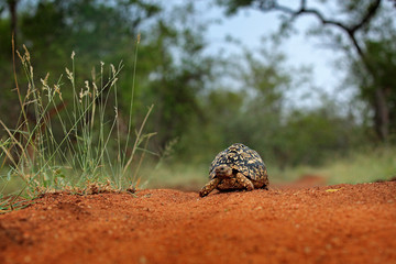 Leopard tortoise, Stigmochelys pardalis, on the orange gravel road. Turtle in the green forest habitat, Kruger NP, South Africa. Face portrait of tortoise, wildlife scene from nature.
