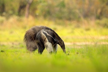 Anteater, cute animal from Brazil. Giant Anteater, Myrmecophaga tridactyla, animal long tail and log muzzle nose, Pantanal, Brazil. Wildlife scene, wild nature gress meadow. Running in pampas.