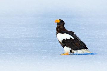 Steller's sea eagle, Haliaeetus pelagicus, bird with white snow, Hokkaido, Japan. Wildlife action behavior scene from nature.