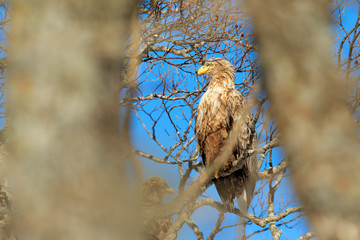 Wall Mural - Eagle hidden in the tree. Big bird of prey White-tailed Eagle sitting on the tree with nice sun light. Eagle in winter vegetation, Kamchatka, Russia.
