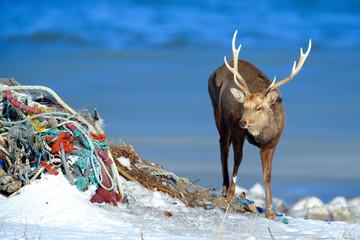 Urban wildlife, Hokkaido sika deer on the coast with dark blue sea, rope waste, animal with antlers in the nature and urban habitat, Hokkaido, Japan. Wildlife scene from nature.