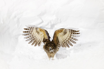 Blakiston's fish owl, Bubo blakistoni, largest living species of fish eagle owl. Bird hunting in cold water. Wildlife scene from winter Hokkaido, Japan. River bird with open wings in snow.