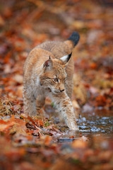 Lynx in the orange autumn forest. Walking Eurasian wild cat in the water. Lynx in the nature habitat, Czech, Europe. Wildlife behaviour scene from fall nature.