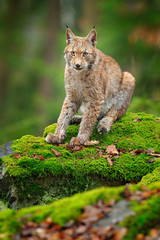 Lynx in the forest. Sitting Eurasian wild cat on green mossy stone, green in background. Wild cat in ther nature habitat, Czech, Europe.