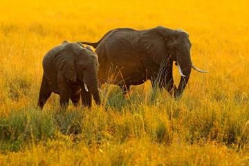 Elephants, evening sun in Africa. Elephants walking in water yellow and green grass, big animal in nature habitat, Chobe sunset, Botswana, Africa. Beautiful evening light.