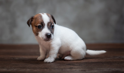Jack Russell Terrier puppy with brown spots on the face sitting on a wooden floor against a gray wall.