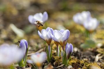 Krokusse mit fliegender Biene vor unscharfem Hintergrund
