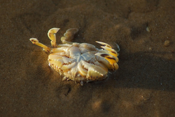 Macro photo of a sand crab on the beach