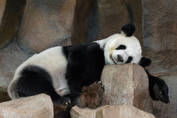 Autocollant pour porte Panda Image of a panda is sleeping on the rocks. Wild Animals.