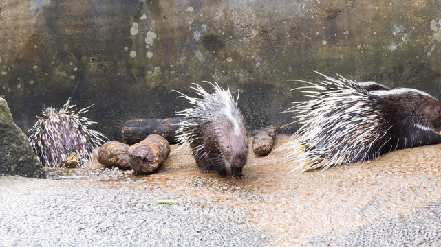 Porcupines in a zoo