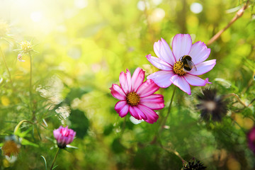Pink cosmos flower and bee. Nature summer background.