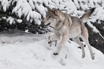 A large gray wolf runs so fast that it flies in a jump, a fast animal in of pictures.