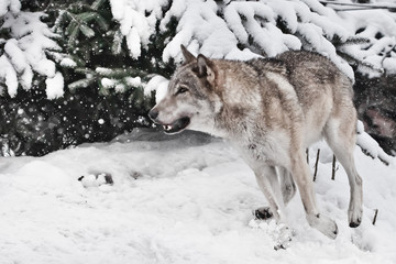 A large gray wolf quickly runs through the forest, a powerful impetuous wild beast in winter.