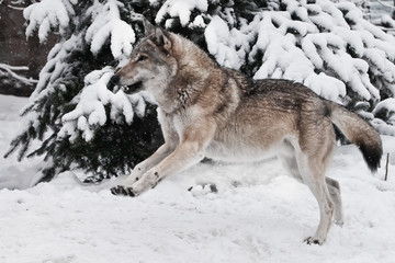 A big gray wolf fools around during mating games and jumps up and down with a silly and funny face a snowy forest.