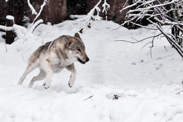 A large gray wolf quickly rushes through the snow ahead on you, in the snow