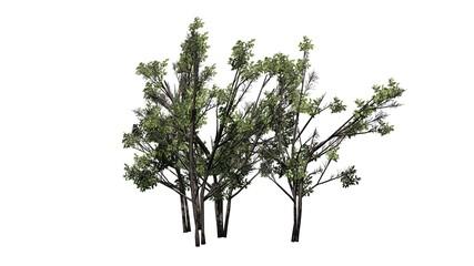 various Common Hazel bushs - isolated on white background