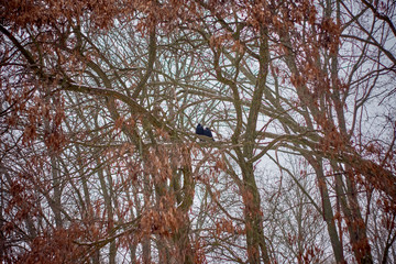 Silhouette of two raven in a tree on a misty day.