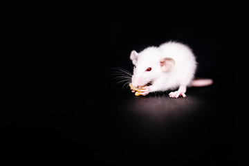 Cute Little Rat eating a cookie, Pet Rat eating a treat. Fluffy rodent pet with little hands holding food. Black background