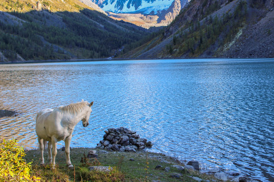 White horse on the background of a mountain lake and snow-white peaks
