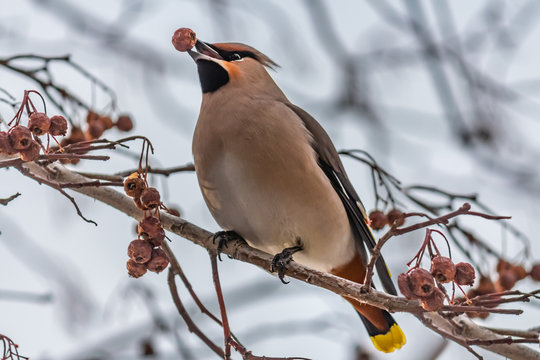 A fun gray and orange Bohemian waxwing Bombycilla garrulus eats a red small apple on a branch of wild apple tree in the park in winter on a blue sky background