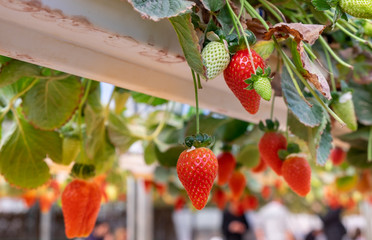 Organic sweet hydroponic Strawberries growing in greenhouse. Israel