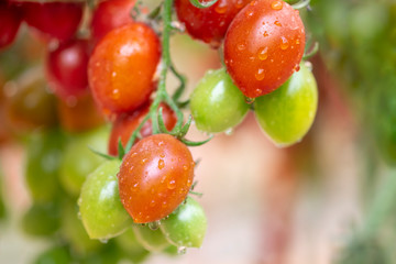 Organic red and green cherry tomatoes growing in greenhouse