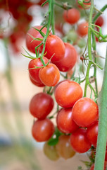 Organic red cherry tomatoes growing in greenhouse