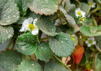 Flowers of hydroponic strawberries growing  in greenhouse. Israel