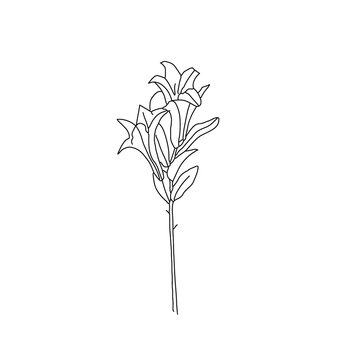 White lily isolated on a white background. Card with blooming lily. Hand drawn vector illustration.