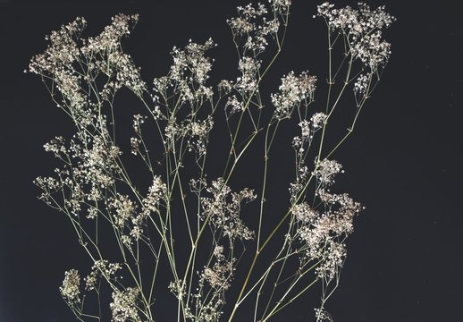 Flat lay of dried baby's breath (gypsophilia) flowers placed on a black table surface. Simple minimalistic feel of black and off white colors suitable for backgrounds. Spread out branches going upward