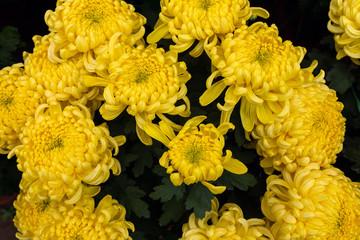 closeup dahlia flowers