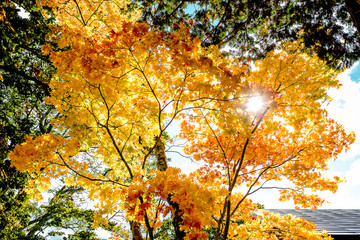Maple yellow golden leaves tree, orange maple trees sunlight against sky, autumn season in Japan