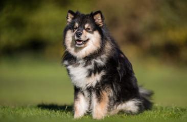 Portrait of a Finnish lap dog