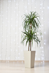 A large and beautiful home plant of dracaena in a beige pot stands on the floor against the background of a white wall with garlands