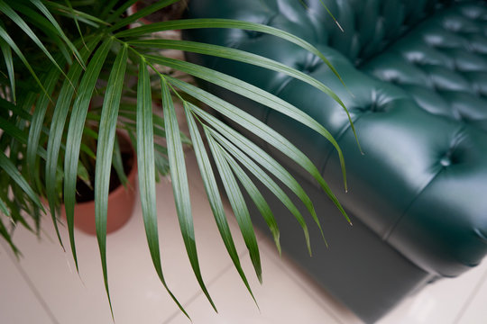A large sheet of palm Chamaedorea elegans trees on the background of a brown leather sofa