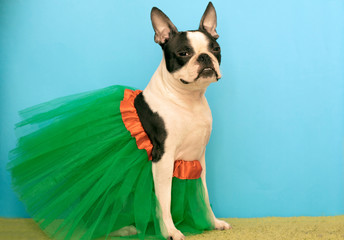A Boston Terrier dog wearing a green, airy dress depicts a ballerina with a model face. copy space