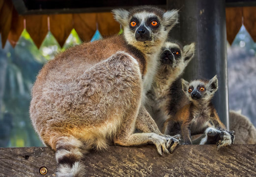 Three Ring-tailed Lemurs, Indonesia