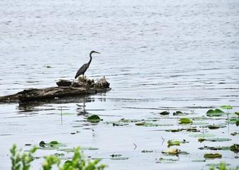 Heron on Log in River
