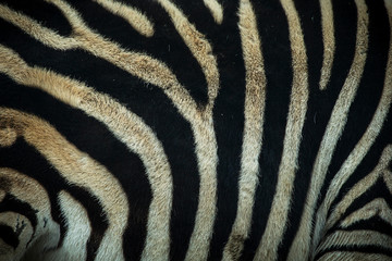 Close-up of a zebra's skin