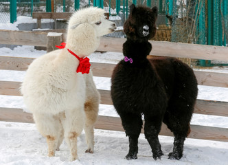 Alpacas Romeo and Juliette decorated for Valentine's Day walk inside their open air enclosure at the Roev Ruchey Zoo in Krasnoyarsk